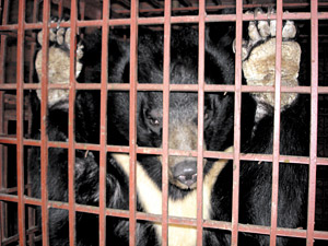 Black bear in cage