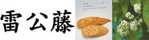 The Chinese characters, dried herb and fresh plant of lei gong teng. - Copyright – Stock Photo / Register Mark