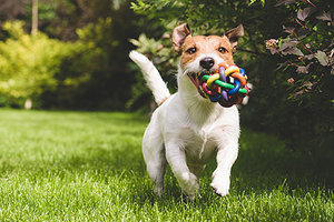dog running - Copyright – Stock Photo / Register Mark