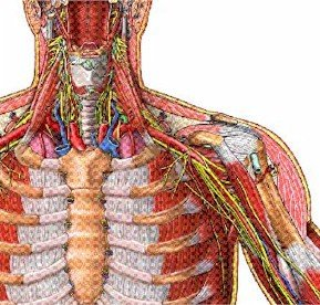 Illustration of Thoracic outlet syndrome. - Copyright – Stock Photo / Register Mark