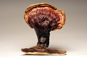 Wild Reishi - Copyright – Stock Photo / Register Mark