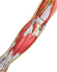 Illustration of muscles of inner forearm. - Copyright – Stock Photo / Register Mark